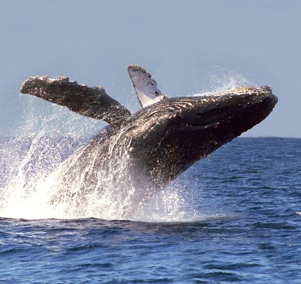 Observations des Baleines à Los Cabos