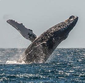 Observation des Baleines à Los Cabos